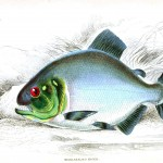 Animal - Fish - Fishes of Guiana 17