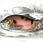 Animal - Fish - Fishes of Guiana 19