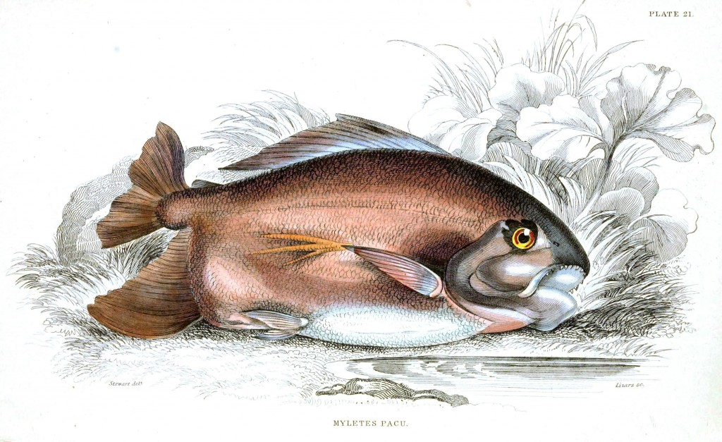 Animal - Fish - Fishes of Guiana 20