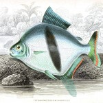 Animal - Fish - Fishes of Guiana 21