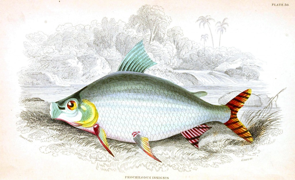 Animal - Fish - Fishes of Guiana 23