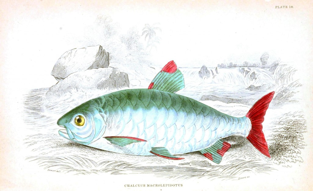 Animal - Fish - Fishes of Guiana 24