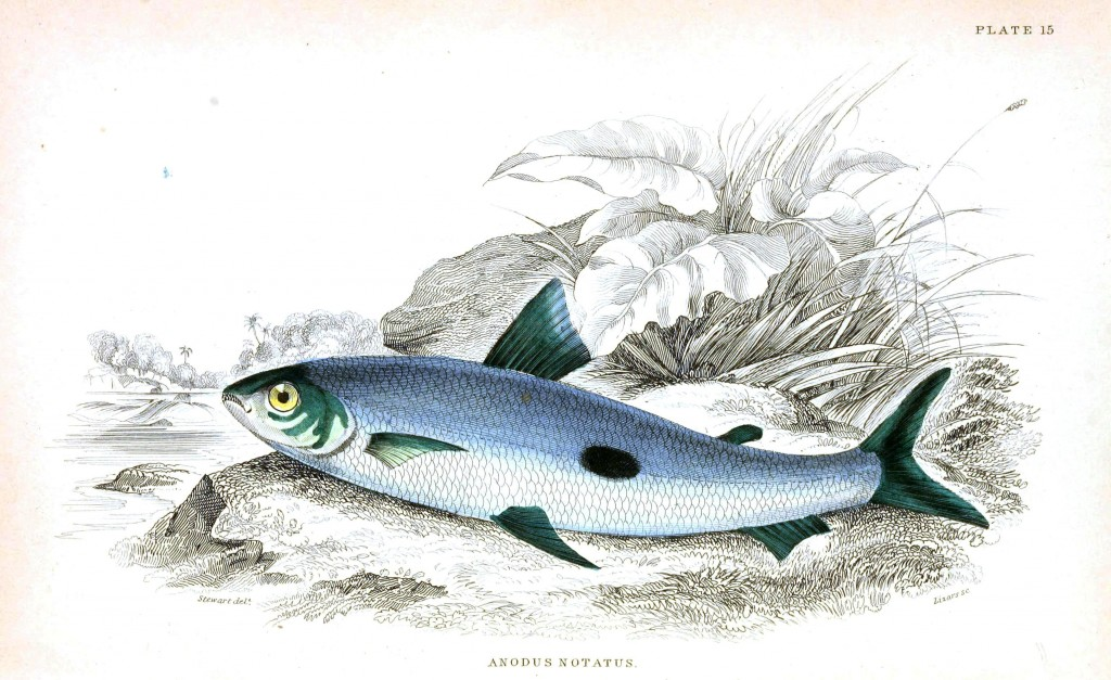 Animal - Fish - Fishes of Guiana 25