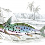 Animal - Fish - Fishes of Guiana 5