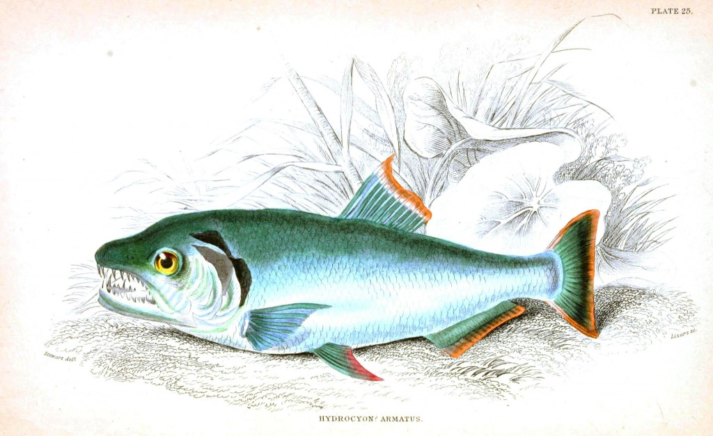 Animal - Fish - Fishes of Guiana 7