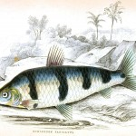 Animal - Fish - Fishes of Guiana 8