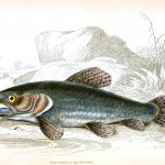 Animal - Fish - Fishes of Guiana 9