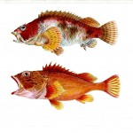 Animal - Fish - Notes on Japanese Fish 02
