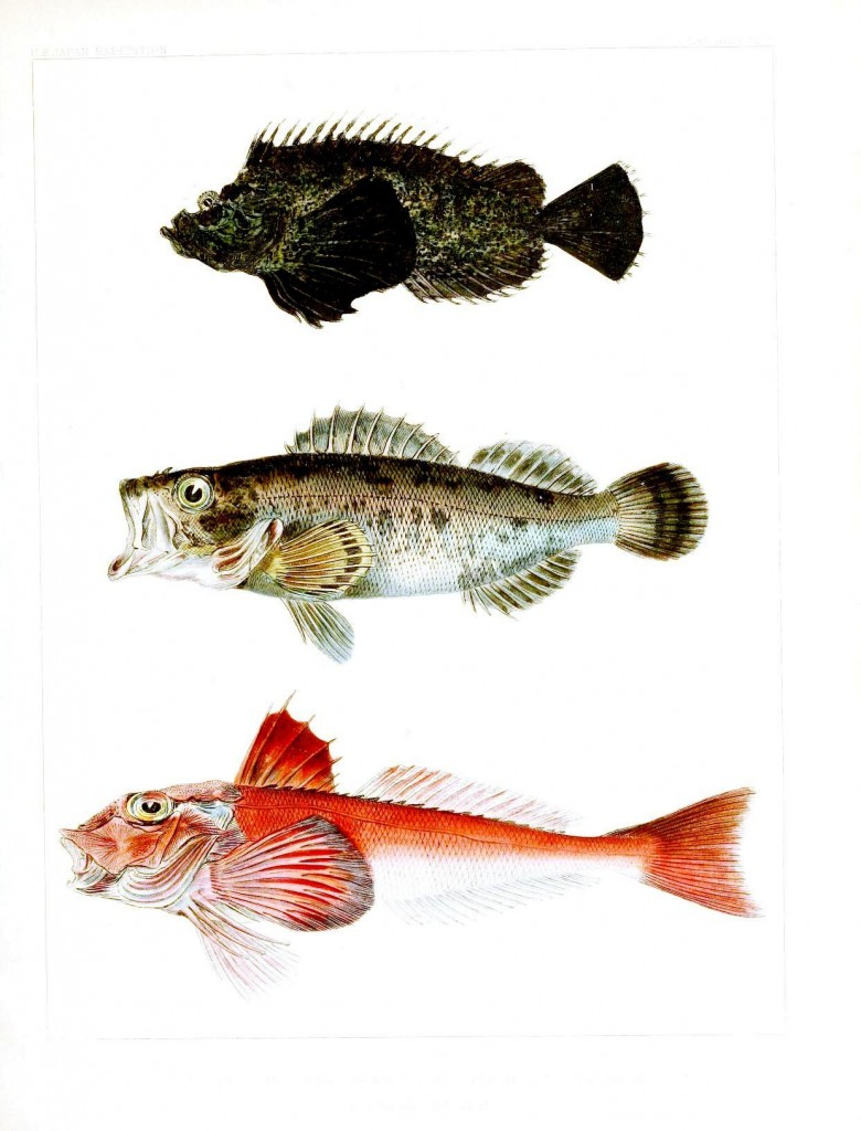 Animal - Fish - Notes on Japanese Fish 03