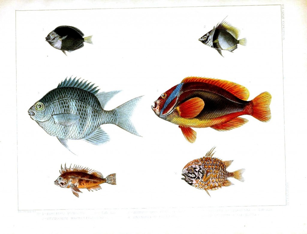 Animal - Fish - Notes on Japanese Fish 04