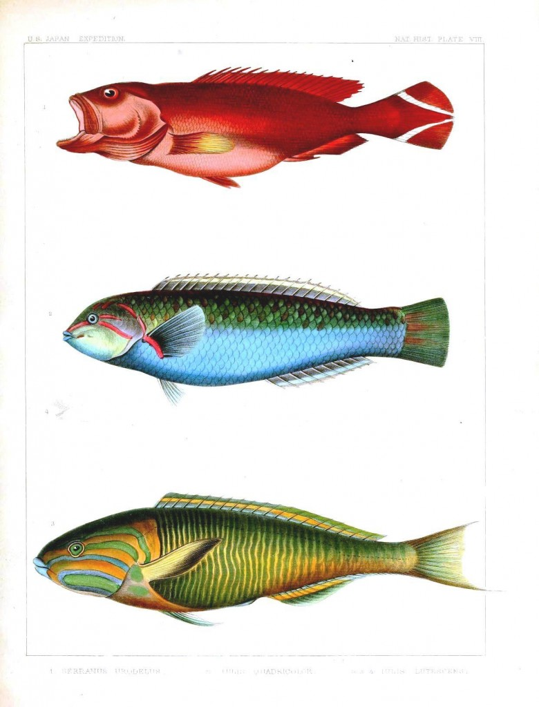 Animal - Fish - Notes on Japanese Fish 06