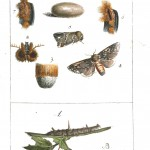 Animal - Insect - Butterflies 1782 -   (1)