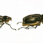 Animal - Insect - Horned beetle