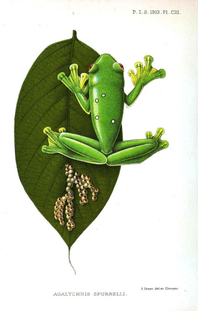 Animal - Reptile - Frog on a leaf