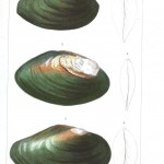 Animal - Sea shell - Bivalve Anatomy 10