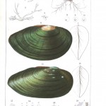 Animal - Sea shell - Bivalve Anatomy 9