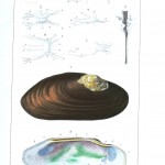 Animal - Sea shell - Bivalve anatomy 1