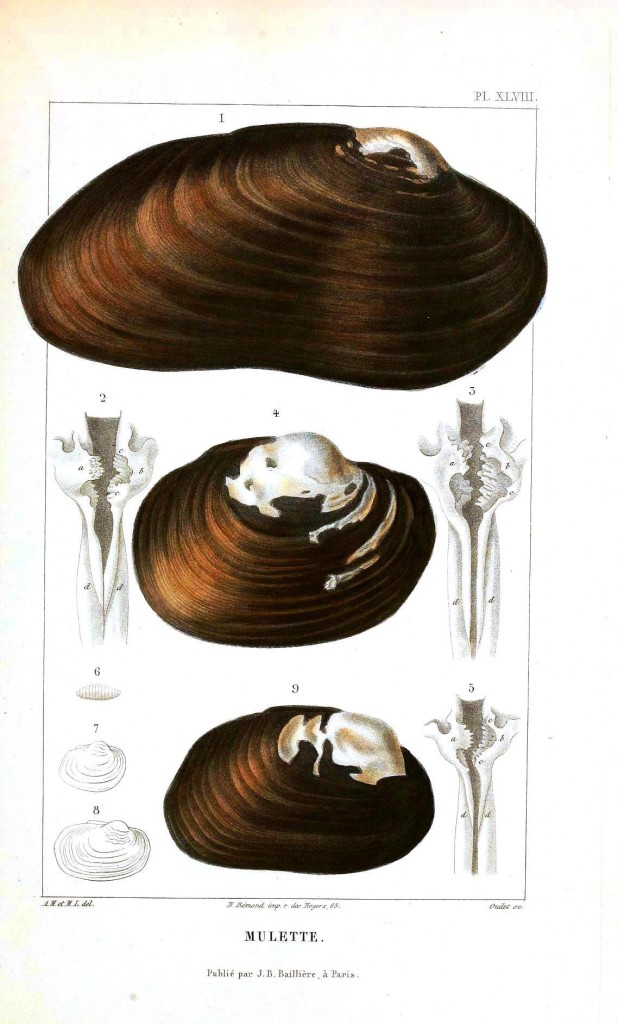 Animal - Sea shell - Bivalve anatomy 2