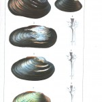 Animal - Sea shell - Bivalve anatomy 3