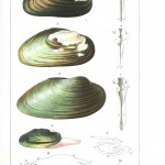 Animal - Sea shell - Bivalve anatomy 4