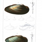 Animal - Sea shell - Bivalve anatomy 5
