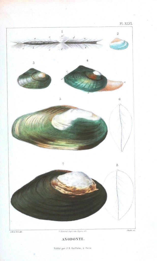Animal - Sea shell - Bivalve anatomy 7