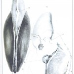 Animal - Sea shell - Mussel 02