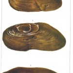 Animal - Sea shell - Mussel 03
