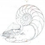 Animal - Sea shell - Nautilus anatomy 3