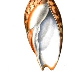Animal - Sea shell - Orange