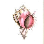 Animal - Sea shell - Pink
