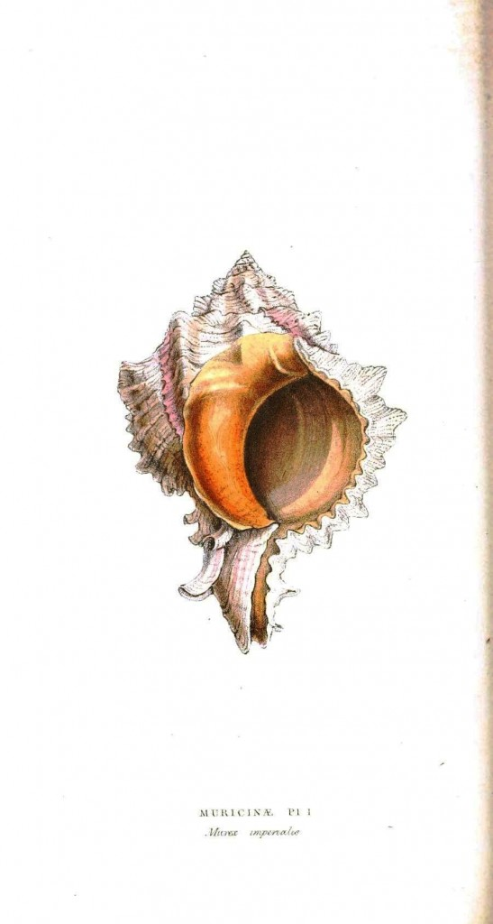 Animal - Sea shell - Pinkish orange