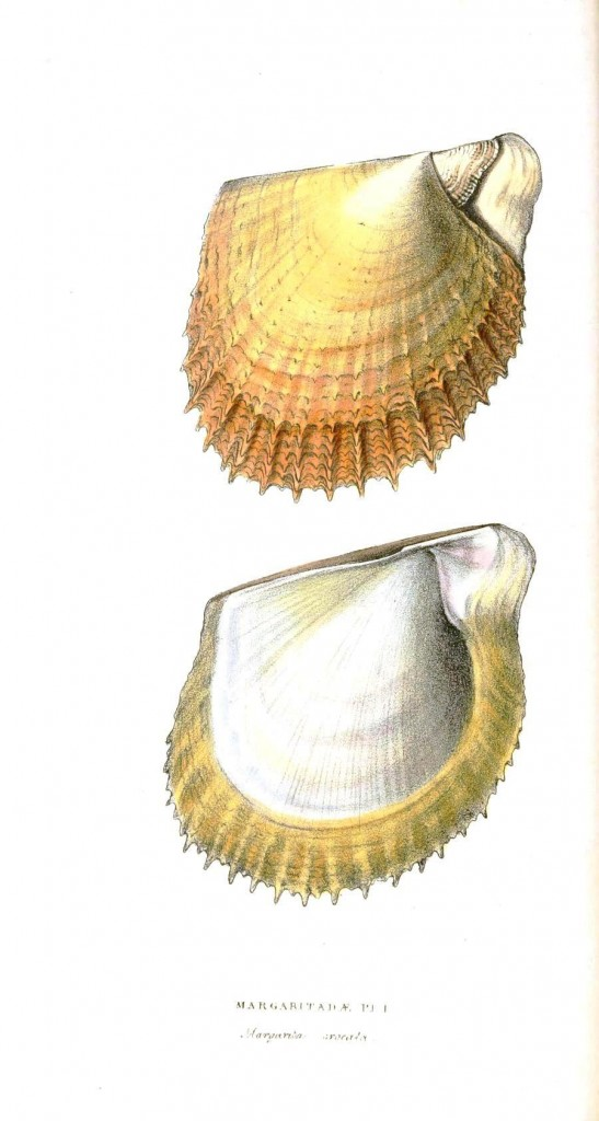 Animal - Sea shell - Yellow bivalve