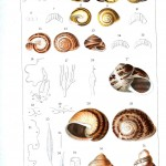 Animal - Slimey - Snail lifecycle -  (6)