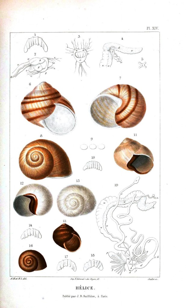Animal - Slimey - Snail lifecycle -  (7)