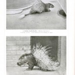 Animal - Spiney - Porcupine - Photo - Fancy porcupines