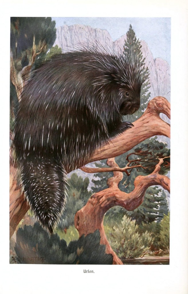 Animal - Spiney - Porcupine - Porcupine in a tree