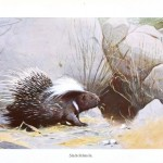 Animal - Spiney - Porcupine - Porcupine in the weeds