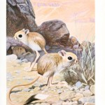 Animal - Woodland - Kangaroo rats