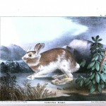 Animal - Woodland - Rabbit - Varying hare