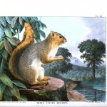 Animal - Woodland - Squirrel - Great tailed squirrel