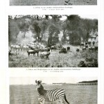 Animal - Zebra - Photo 2