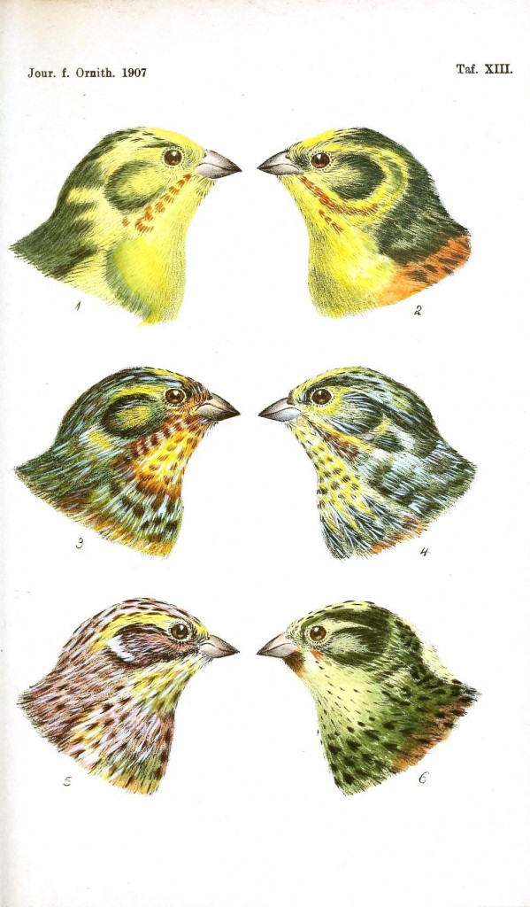 Animal - Bird - Bird coloration, face 3