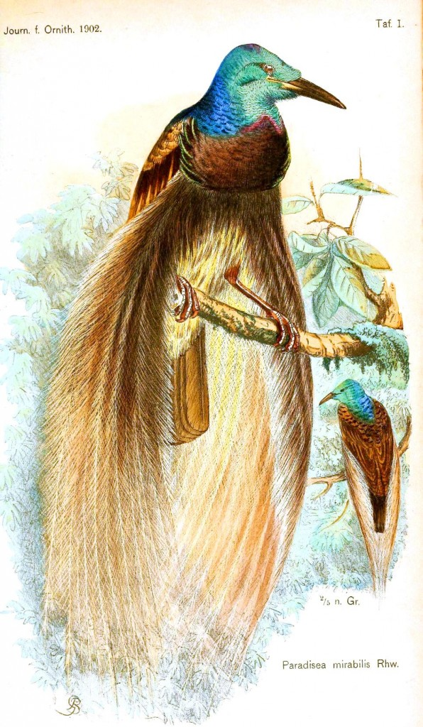 Animal - Bird - Bird of paradise, male and female