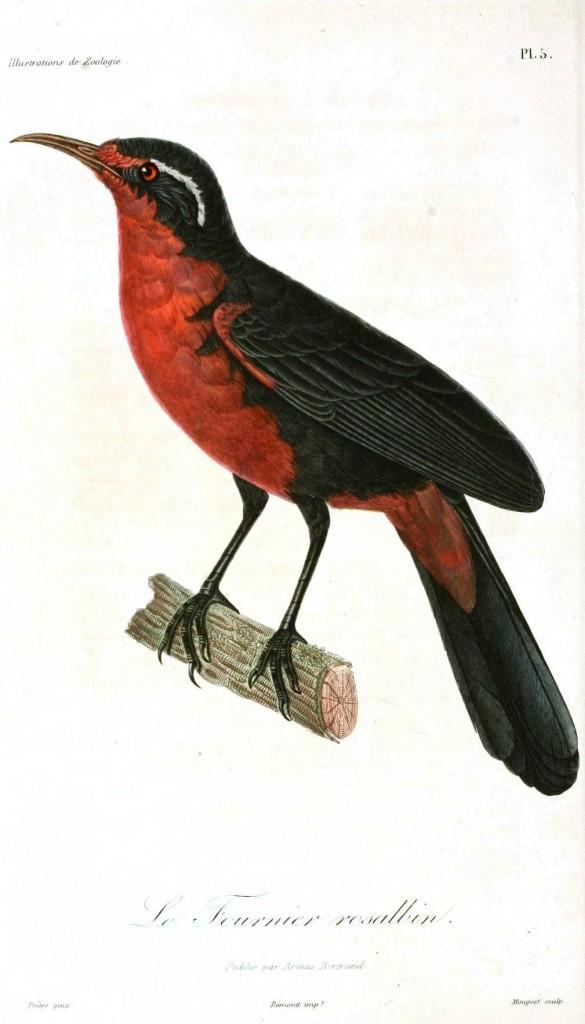 Animal - Bird - Bird with red chestal area