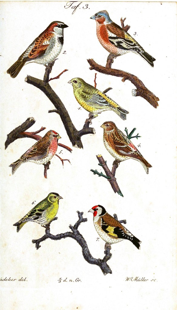 Animal - Bird - Birds, colorful, plate 3