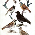 Animal - Bird - Birds, colorful, plate 4