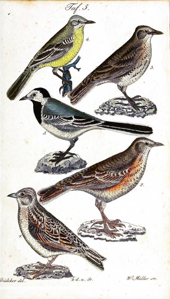 Animal - Bird - Birds, colorful, plate 5