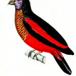Animal - Bird - Black and Red