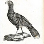 Animal - Bird - Chicken 2 engraving 1834